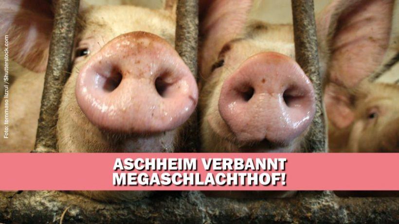 Aschheim stimmt mit überwältigender Mehrheit gegen Megaschlachthof
