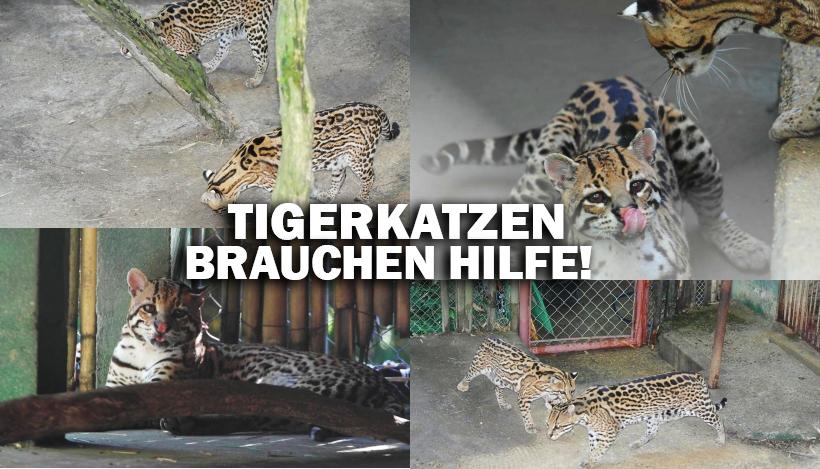 """""""Tal der Tiere"""": Patenschaft für die Tigerkatzen Juca & Gatinha"""