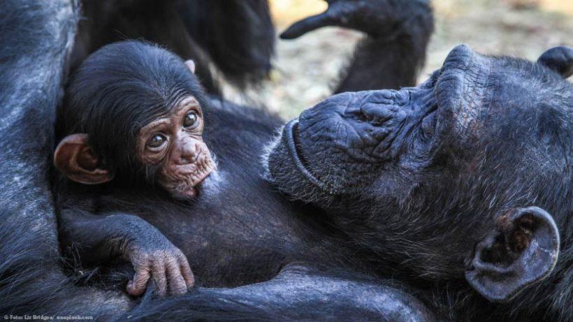 EnzyklopäTIER: Schimpansen – Bedrohte Verwandte