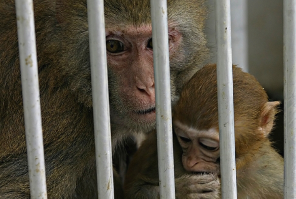 Bald wieder Primatenversuche an Schweizer Uni?