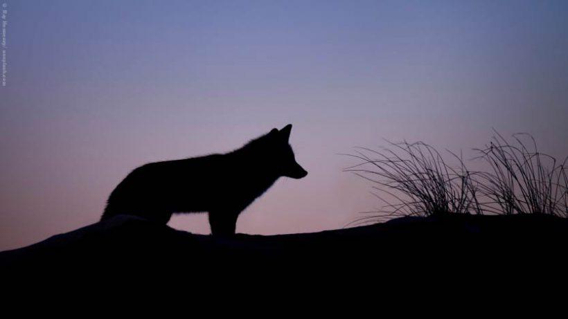 EnzyklopäTIER: Großer, böser Wolf?