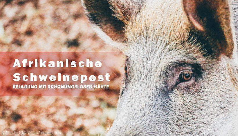 Afrikanische Schweinepest: Startschuss für kopflose Jagd