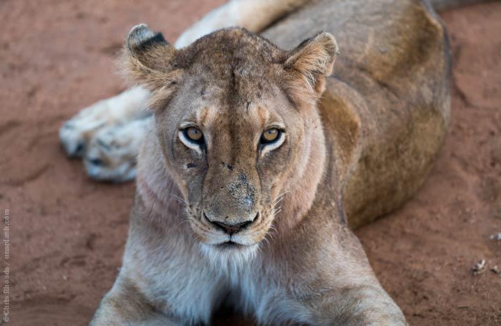 EnzyklopäTIER: Der afrikanische Löwe – König_in der Savanne