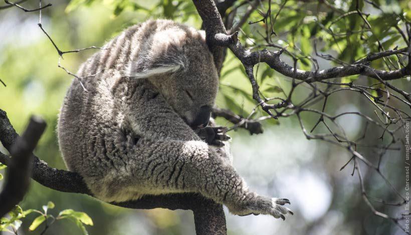 EnzyklopäTIER: Koala – Immer müder Beutelbär