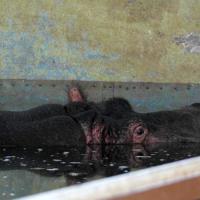 EnzyklopäTIER: Flusspferd – Afrikas größte Gefahr in Not!