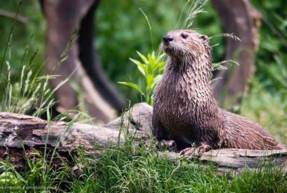 EnzyklopäTIER: Otter – Verspielte Leistungsschwimmer
