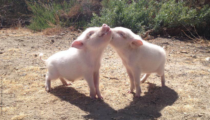 EnzyklopäTIER: Hausschwein – Schweinerei und Saustall
